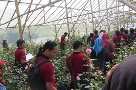 Sebagian dari 20 ribu batang mawar di Bagus Agro (Foto Darma Putra)